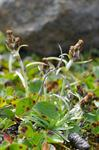 Dwarf Cudweed, Alpine Cudweed (Gnaphalium supinum)